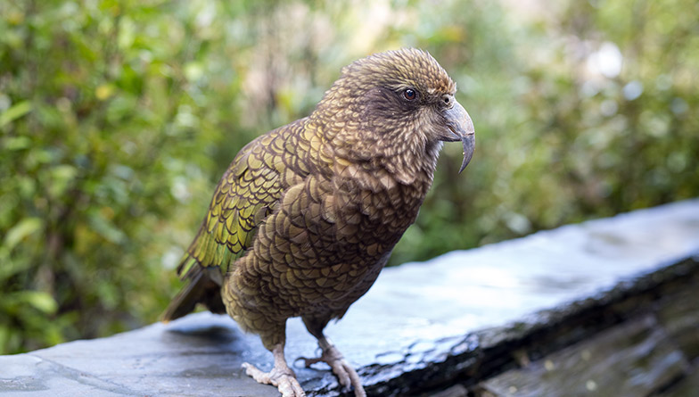 https://rfacdn.nz/zoo/assets/media/kea-ledge-rectangle.jpg