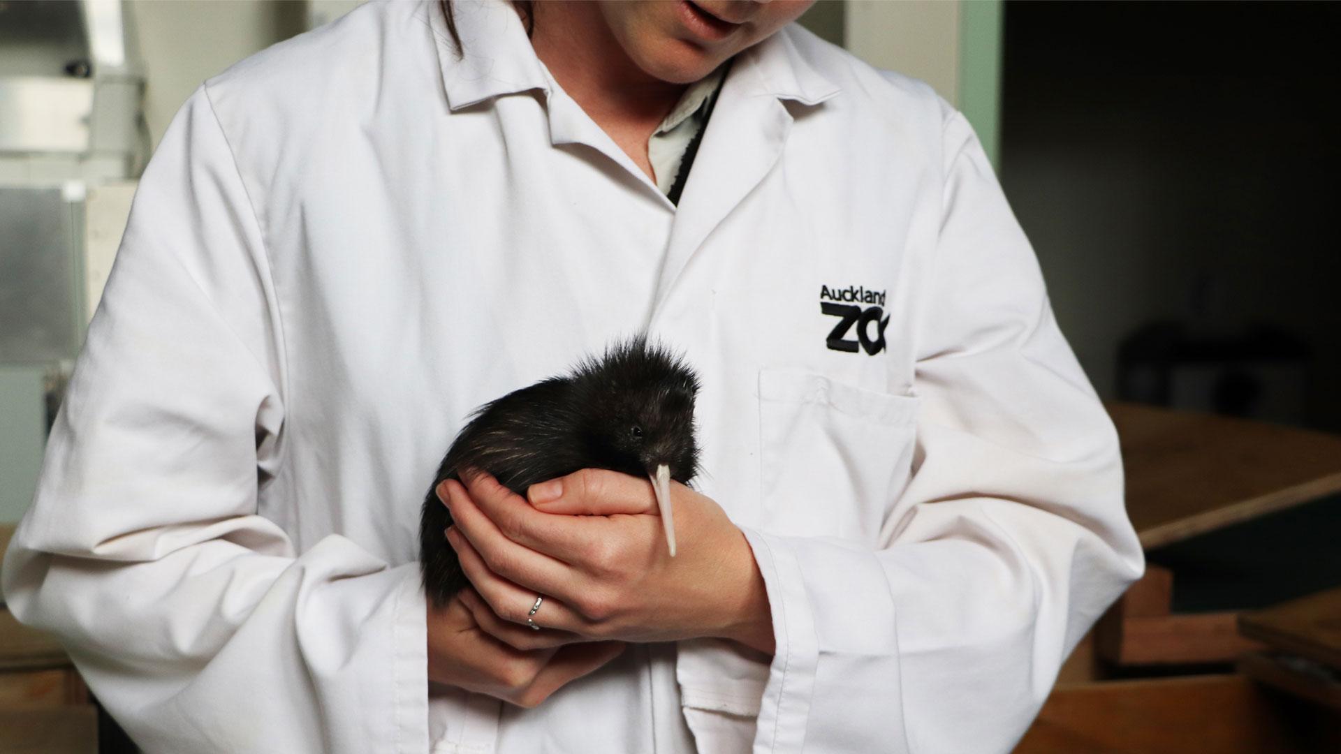 https://rfacdn.nz/zoo/assets/media/kiwi-chick-2020-gallery-11.jpg