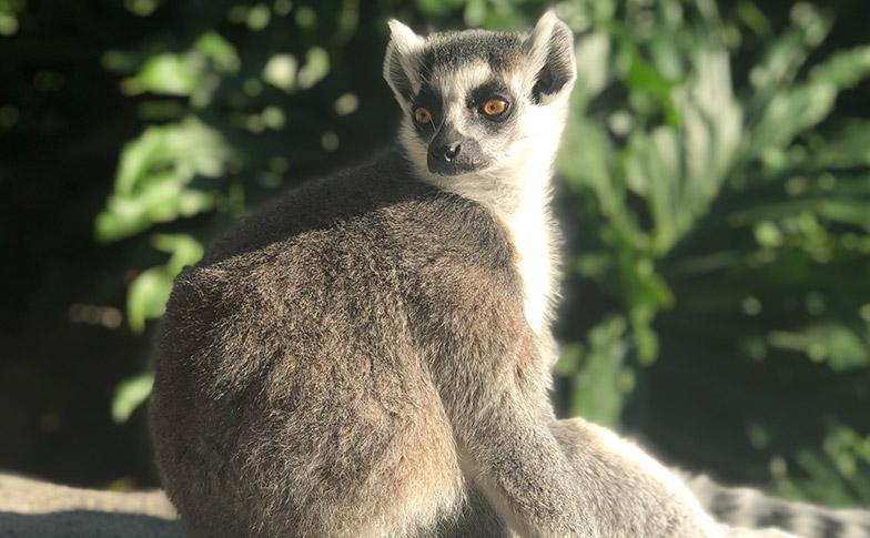 https://rfacdn.nz/zoo/assets/media/lemur-thumbnail-grooming.jpg