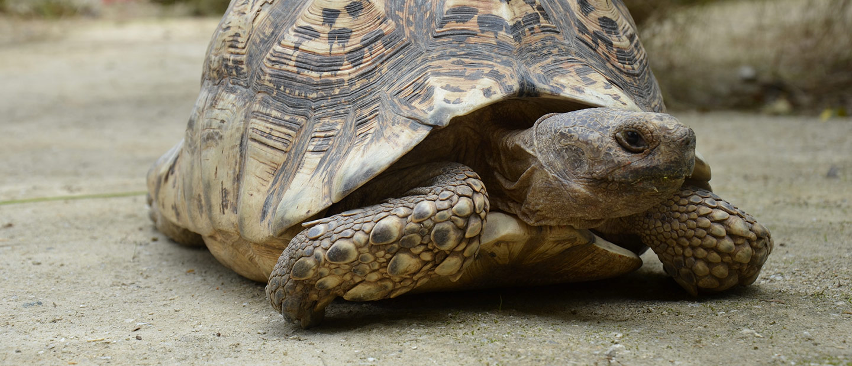 https://rfacdn.nz/zoo/assets/media/leopard-tortoise-closeup-hero.jpg