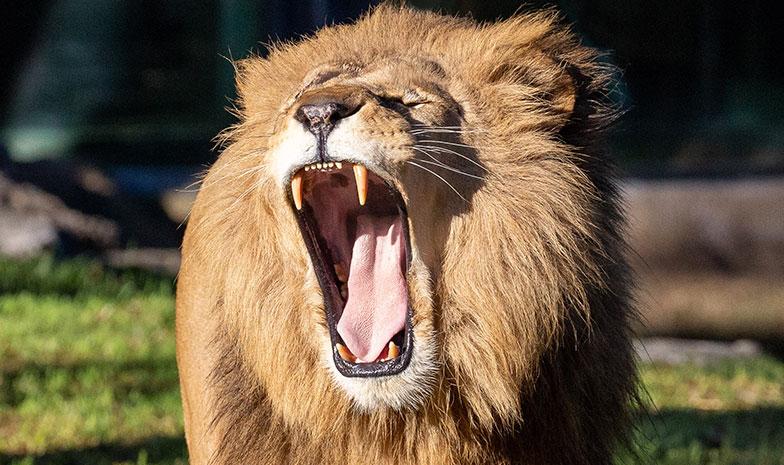 https://rfacdn.nz/zoo/assets/media/lion-roaring-rectangle.jpg