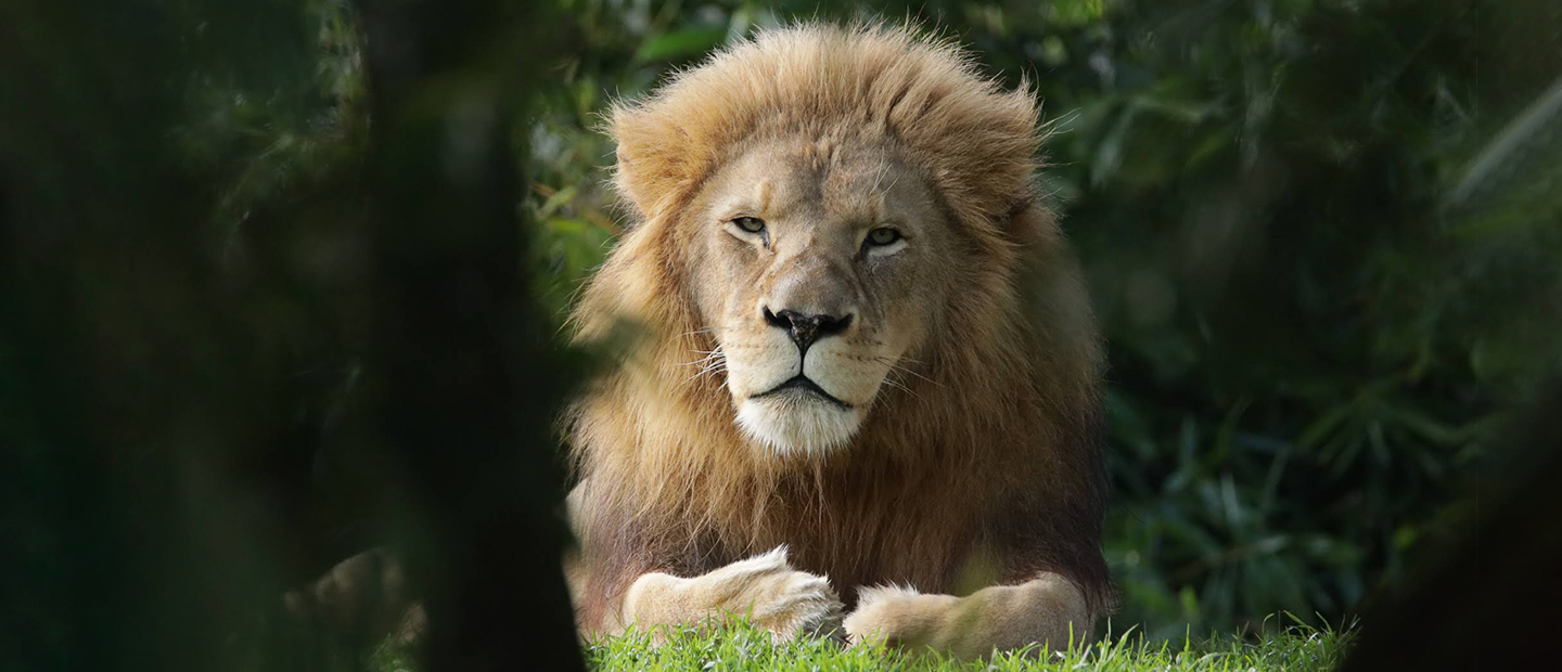 https://rfacdn.nz/zoo/assets/media/lion-through-brush-hero.jpg