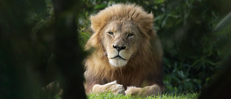 https://rfacdn.nz/zoo/assets/media/lion-through-brush-hero.jpg