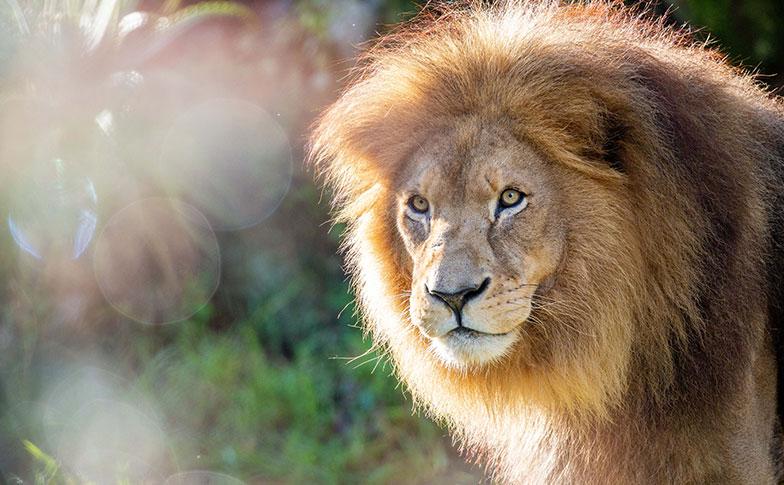 https://rfacdn.nz/zoo/assets/media/lion-thumbnail.jpg