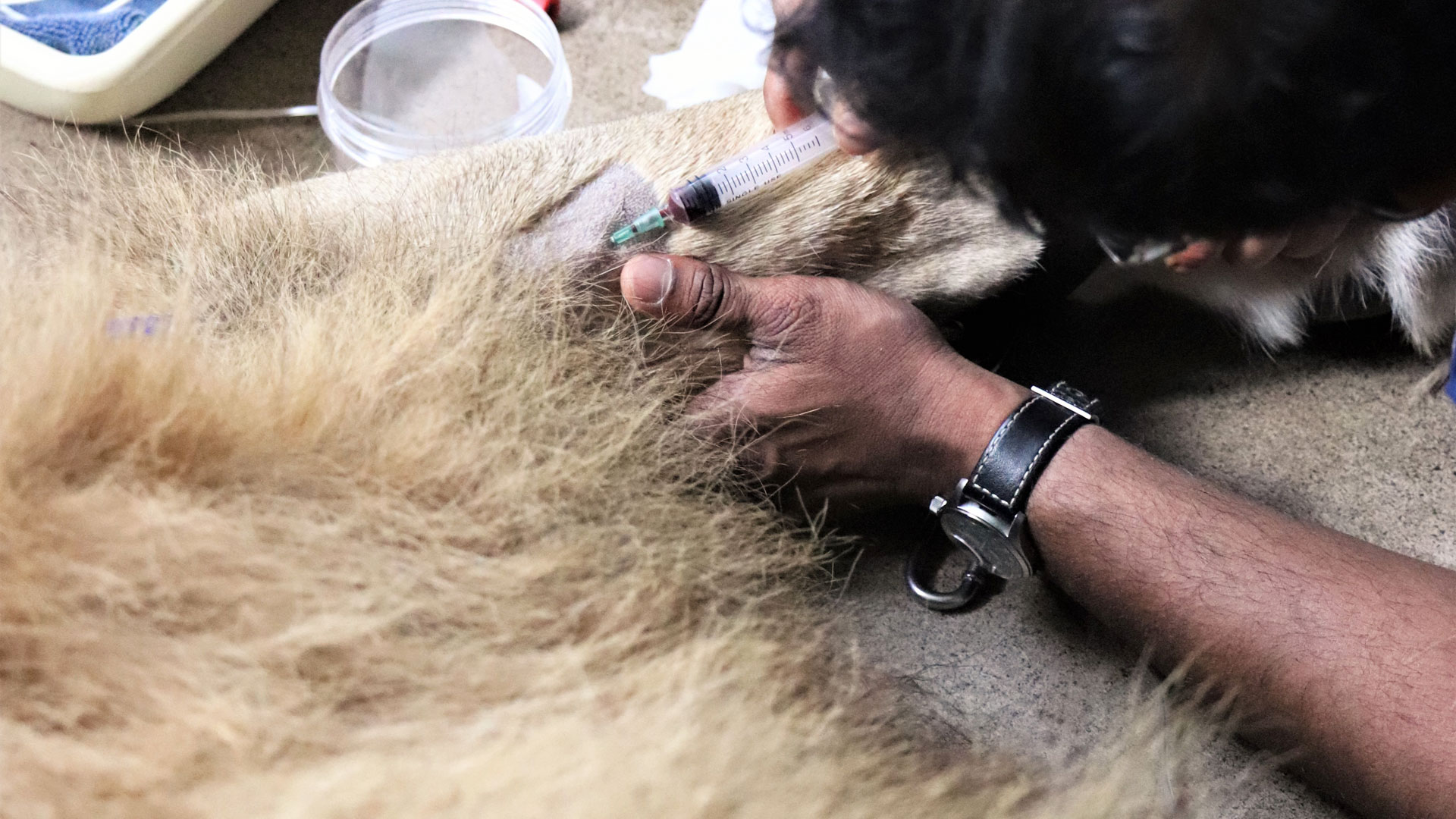 https://rfacdn.nz/zoo/assets/media/lion-vet-procedure-zulu-gallery-1.jpg