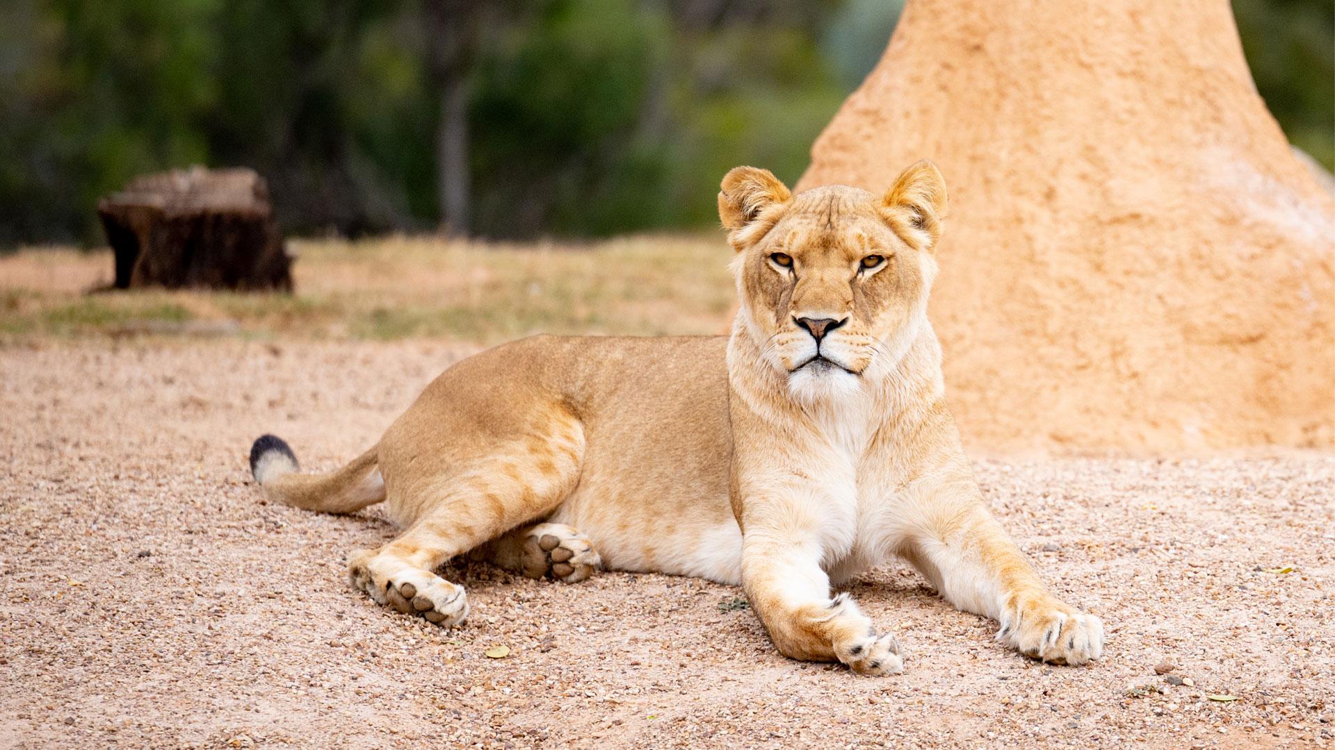https://rfacdn.nz/zoo/assets/media/lioness-aziza-gallery-3.jpg