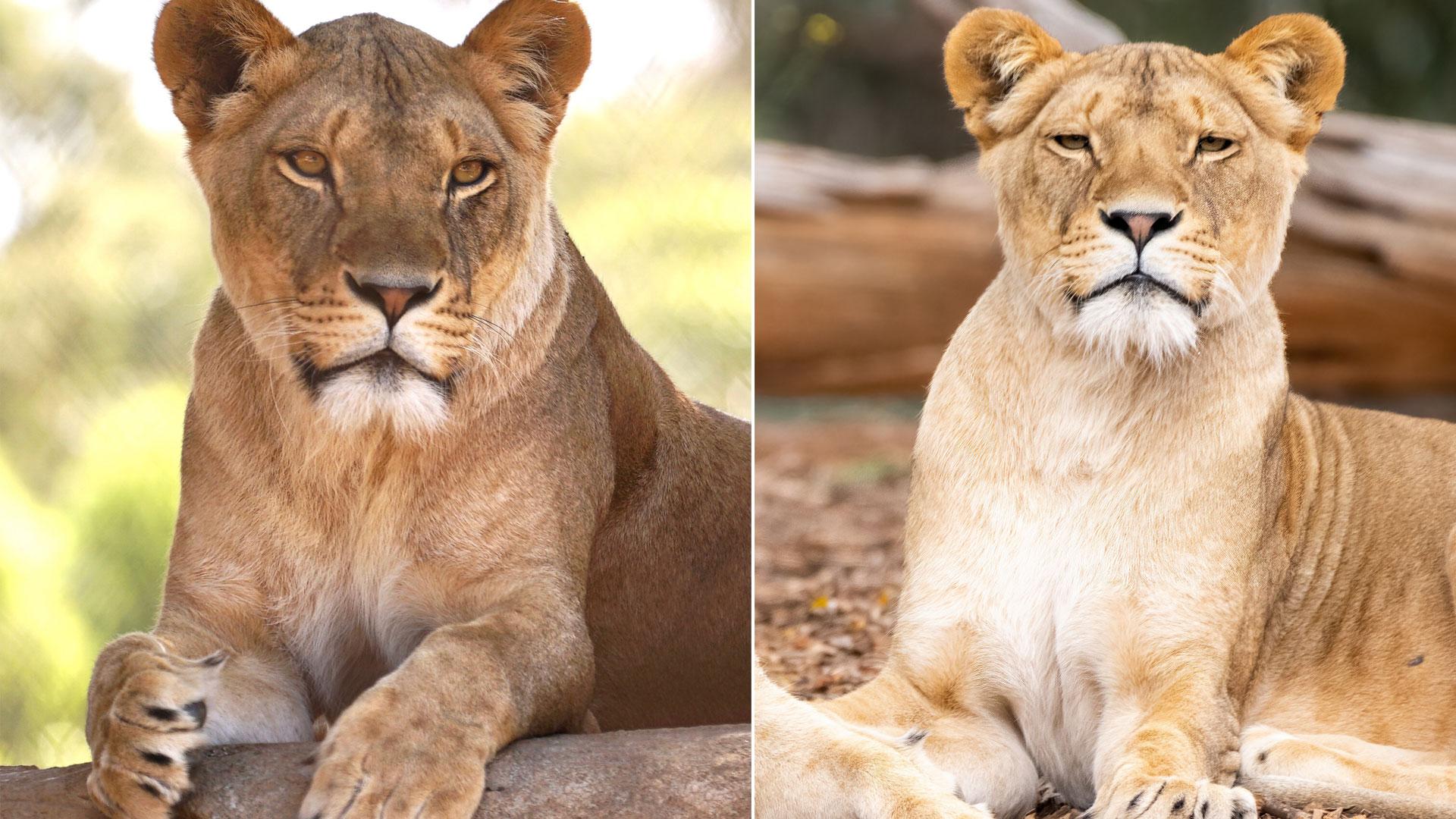 https://rfacdn.nz/zoo/assets/media/lioness-iiola-gallery-2.jpg