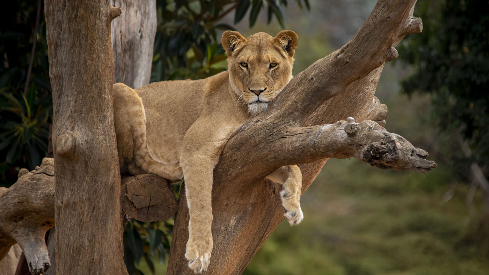 https://rfacdn.nz/zoo/assets/media/lioness-kibibi-gallery-1.jpg