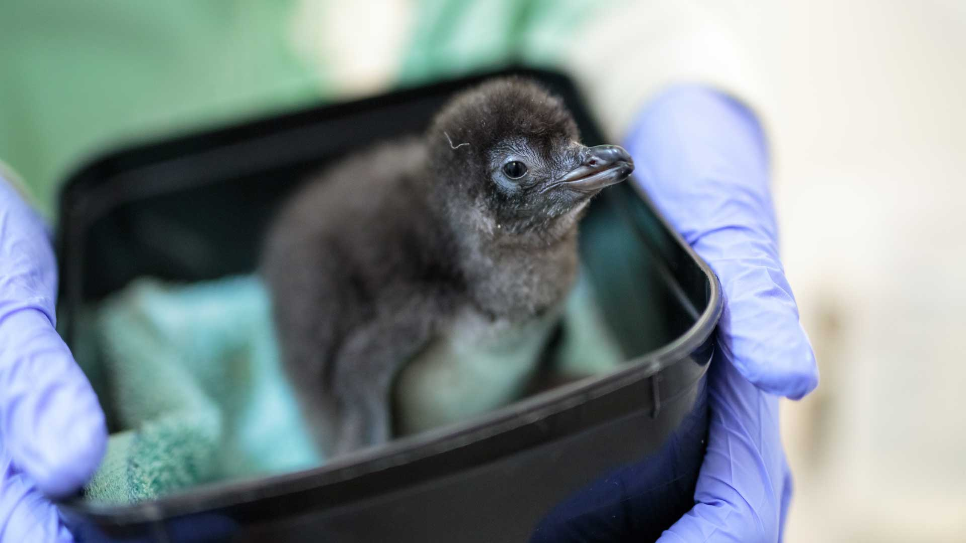 https://rfacdn.nz/zoo/assets/media/little-penguin-ohope-gallery-3.jpg