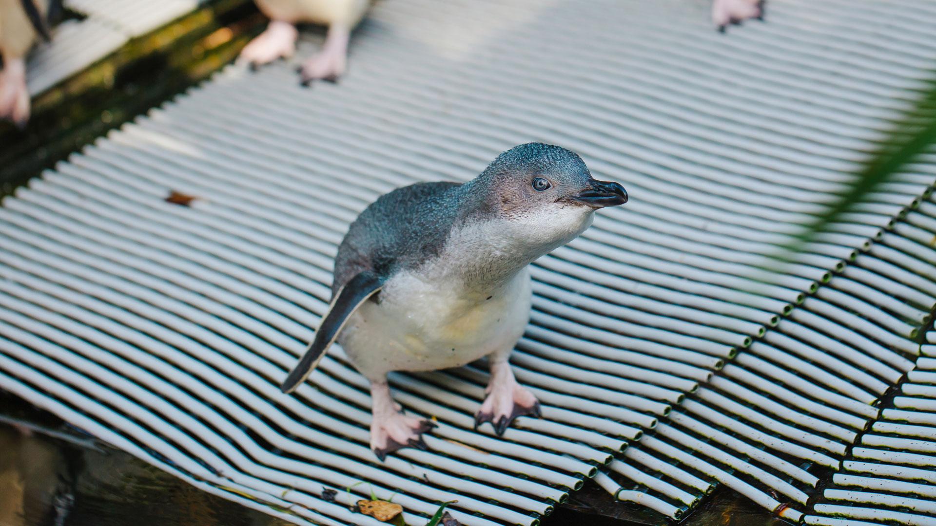 https://rfacdn.nz/zoo/assets/media/little-penguin-paku-gallery-4.jpg