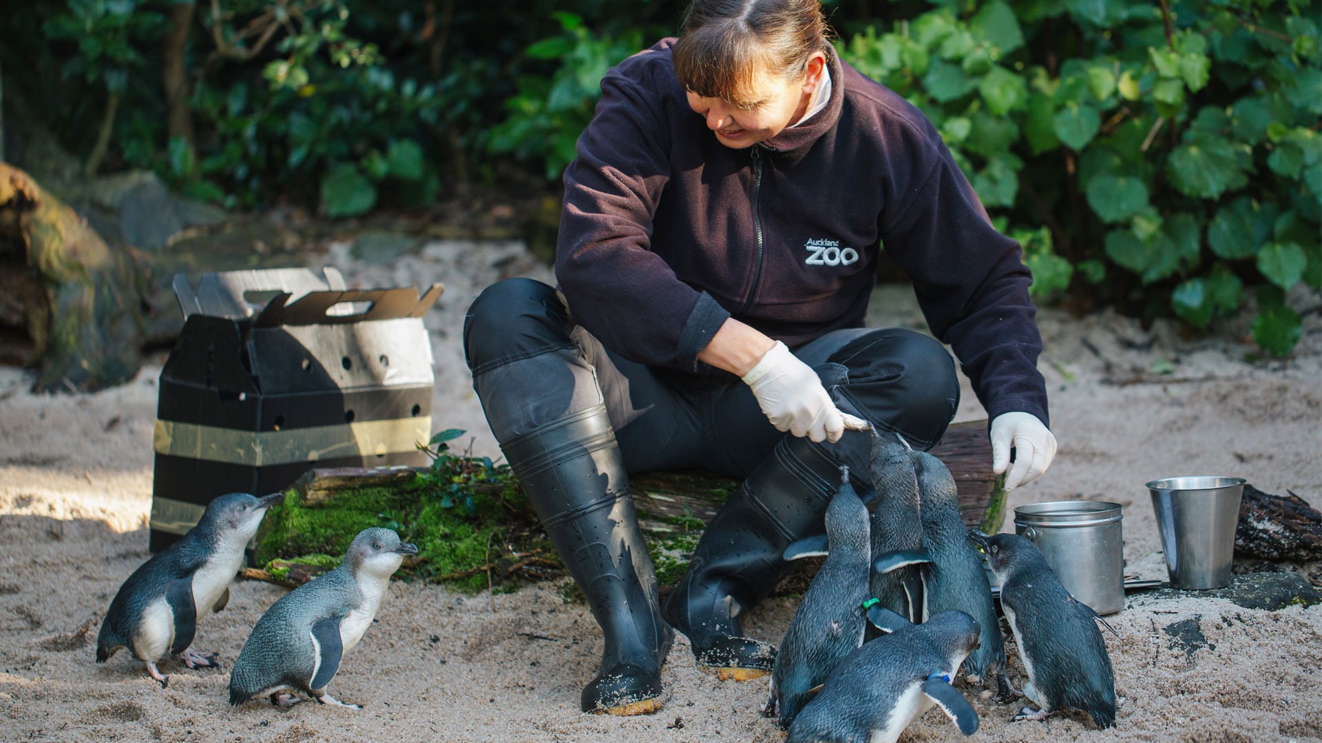 https://rfacdn.nz/zoo/assets/media/little-penguin-paku-gallery-6.jpg