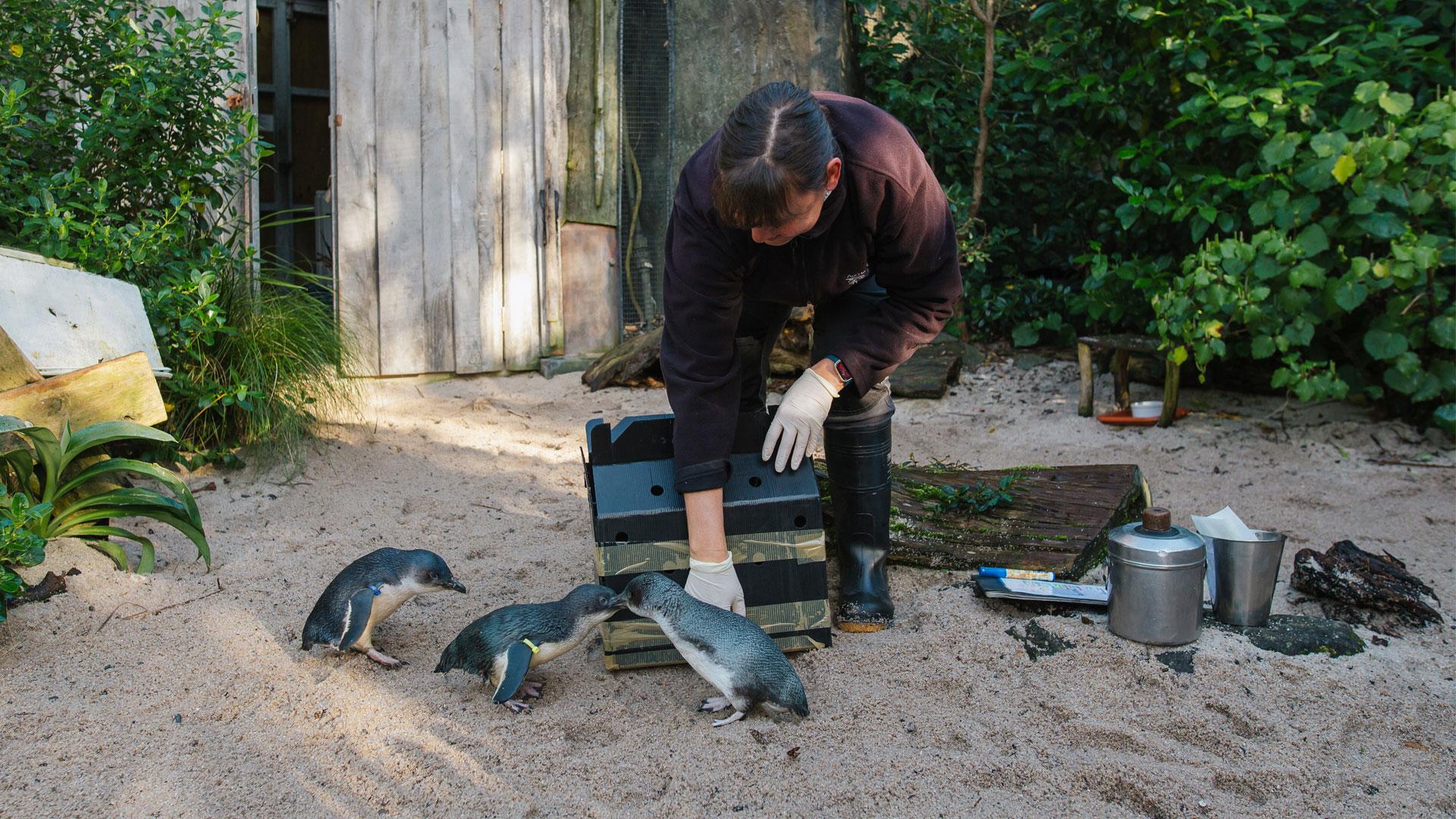 https://rfacdn.nz/zoo/assets/media/little-penguin-paku-gallery-7.jpg