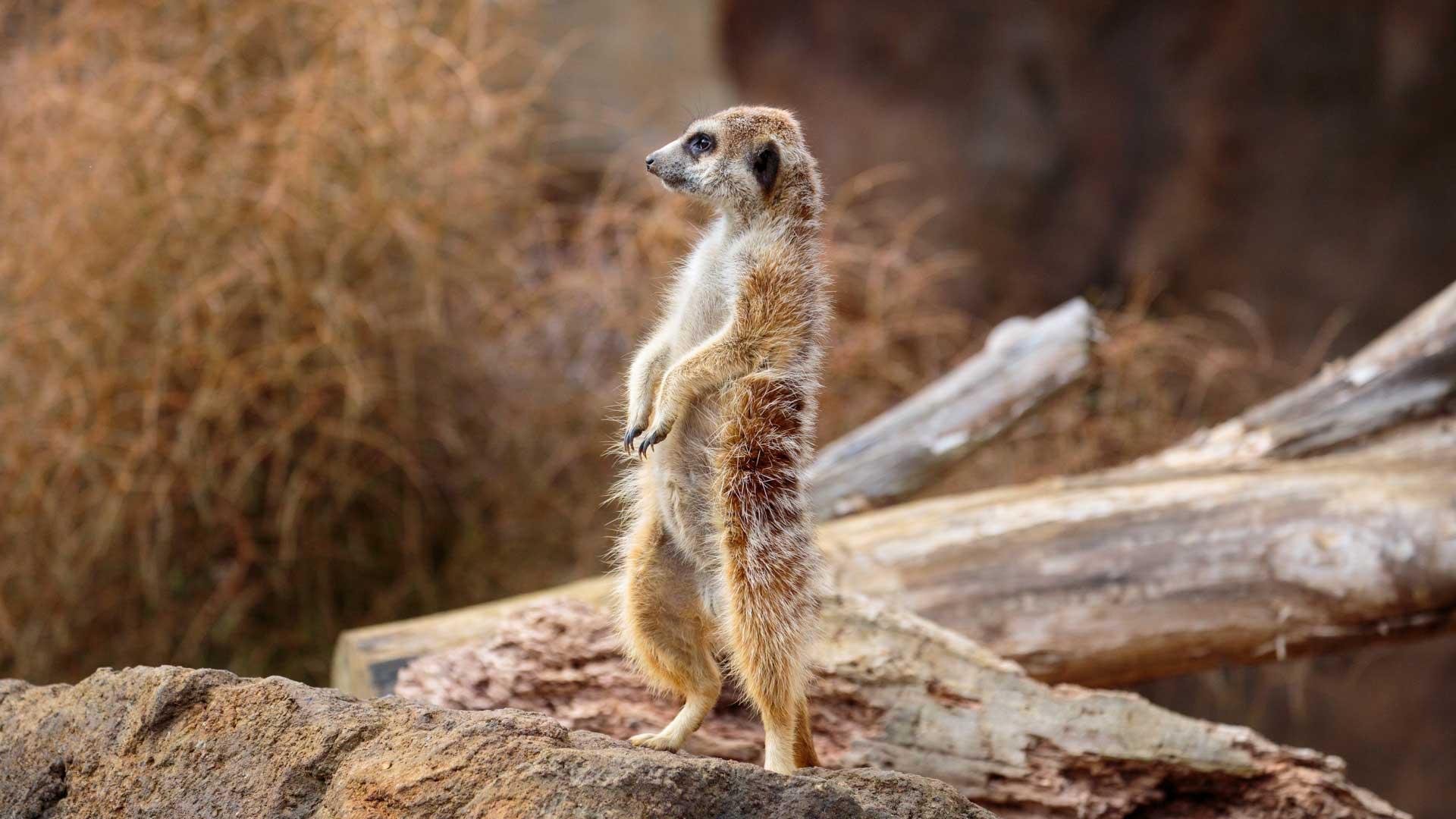 https://rfacdn.nz/zoo/assets/media/meerkat-gallery-4.jpg