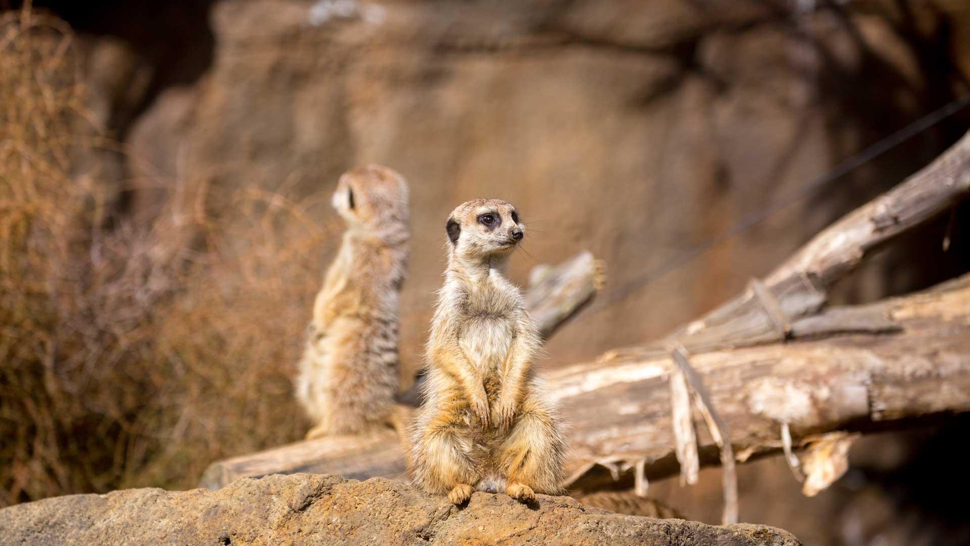 https://rfacdn.nz/zoo/assets/media/meerkat-gallery-5.jpg