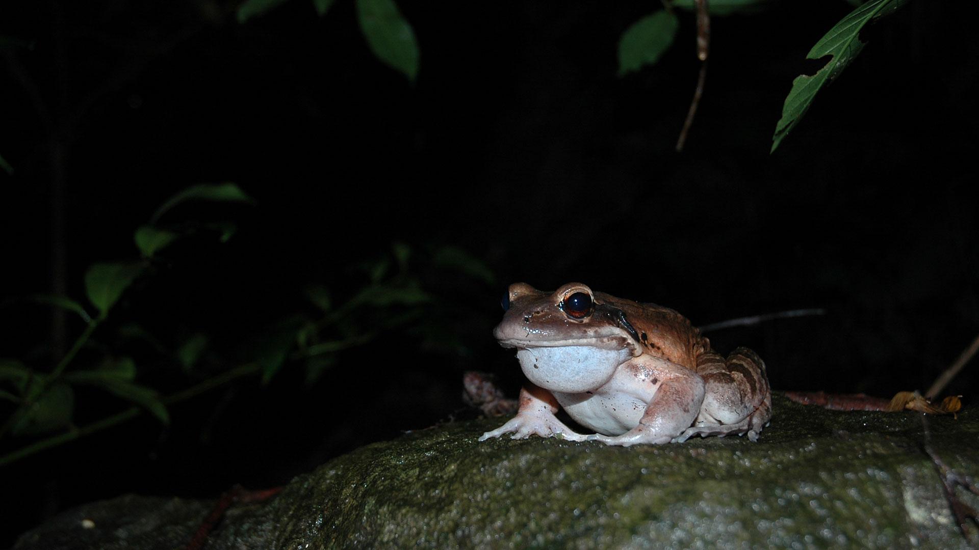 https://rfacdn.nz/zoo/assets/media/mountain-chicken-frog-gallery-11.jpg