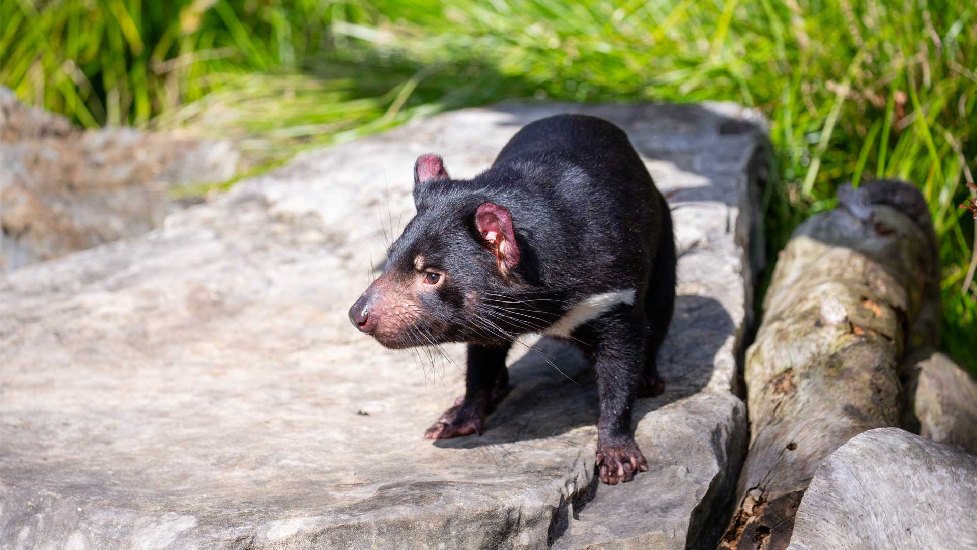 https://rfacdn.nz/zoo/assets/media/new-tassie-devils-gallery-2.jpg