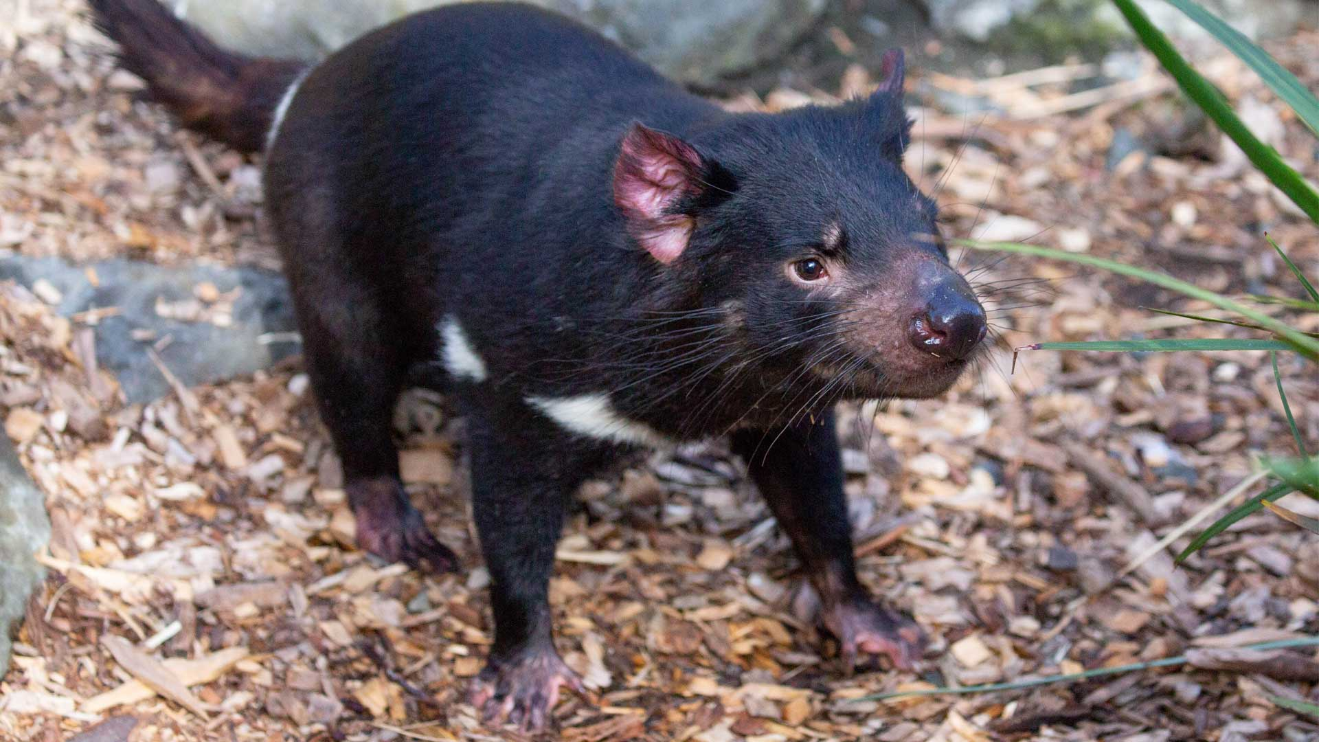 https://rfacdn.nz/zoo/assets/media/new-tassie-devils-gallery-3.jpg