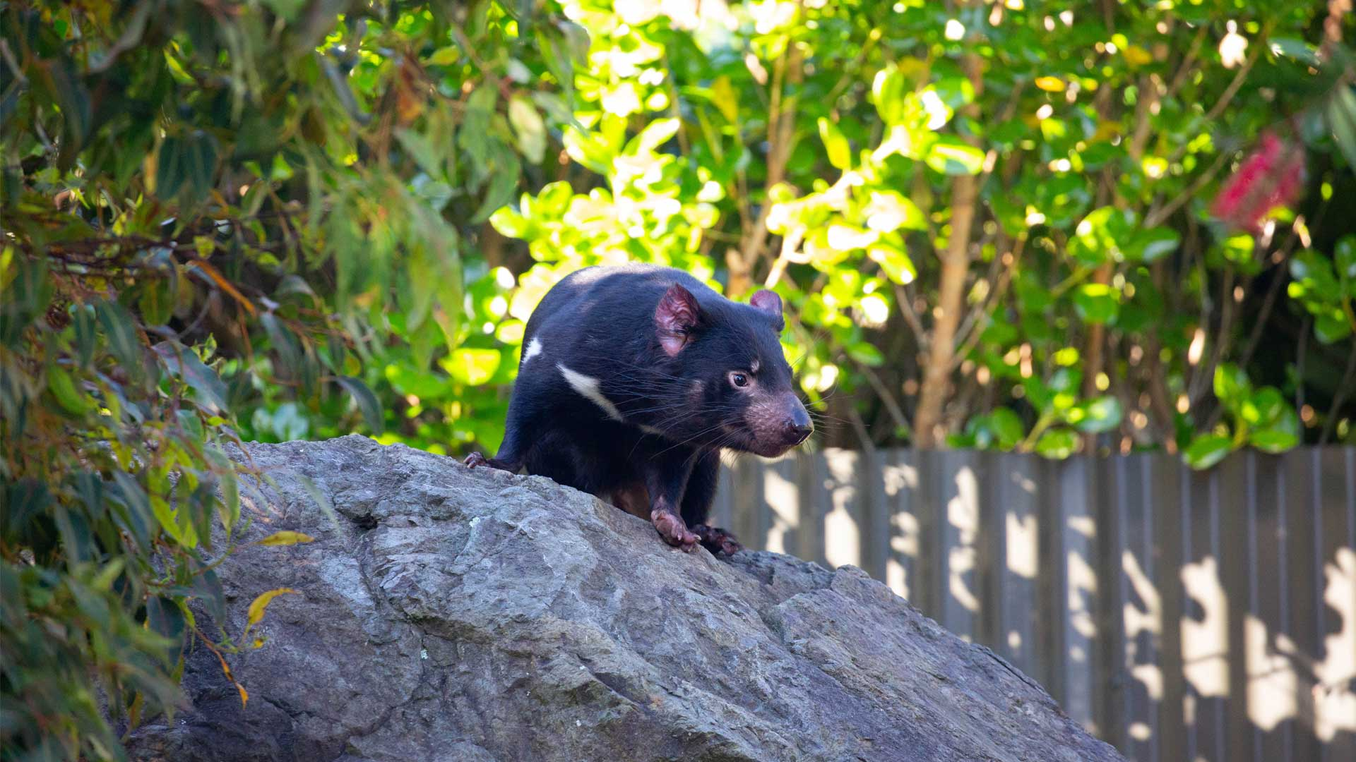 https://rfacdn.nz/zoo/assets/media/new-tassie-devils-gallery-4.jpg