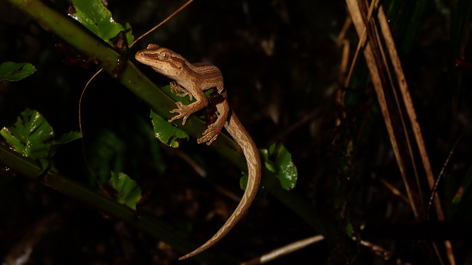 https://rfacdn.nz/zoo/assets/media/northern-striped-gecko-gallery-4.jpg