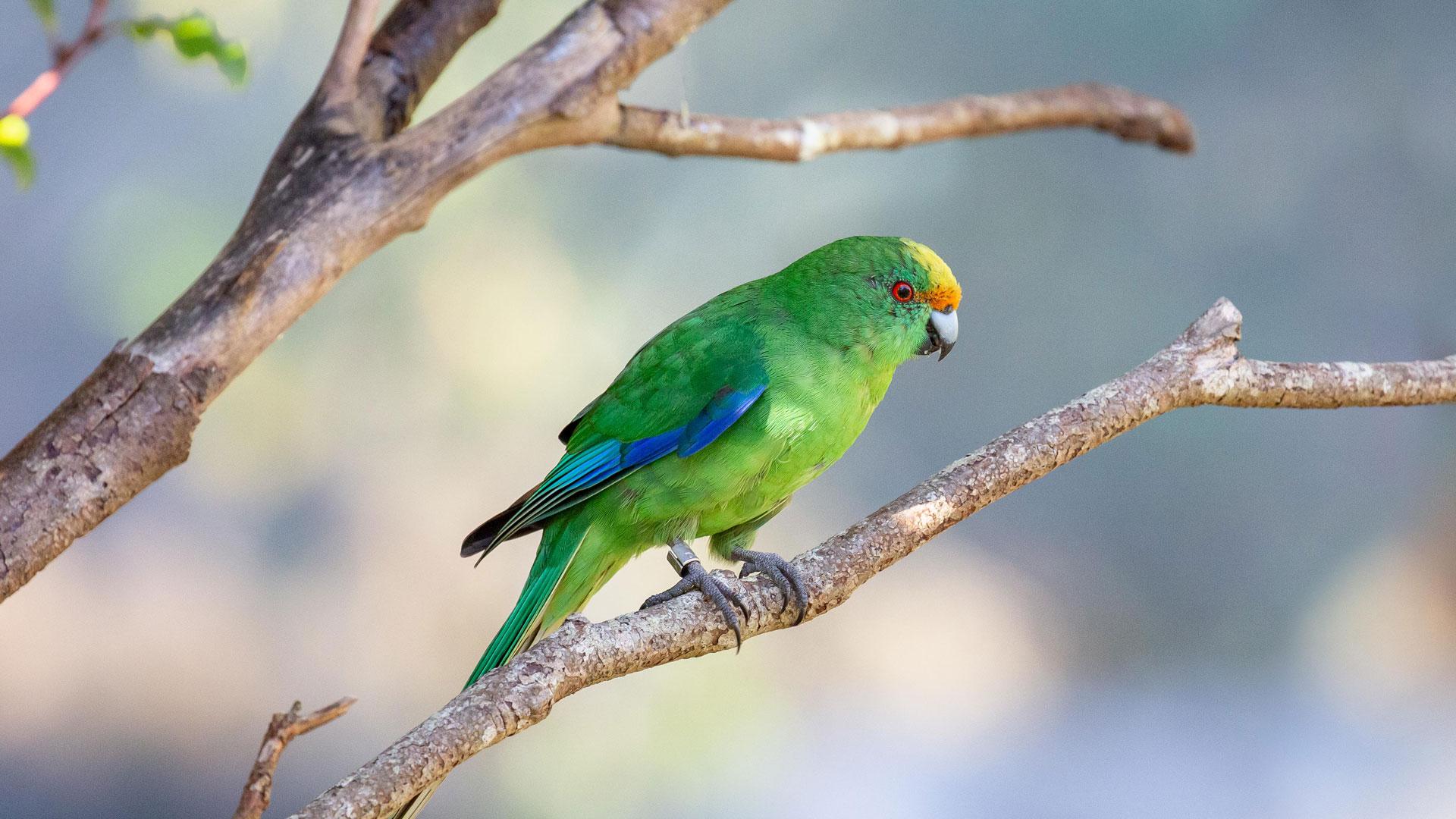 https://rfacdn.nz/zoo/assets/media/orange-fronted-kakariki-chicks-gallery-6.jpg