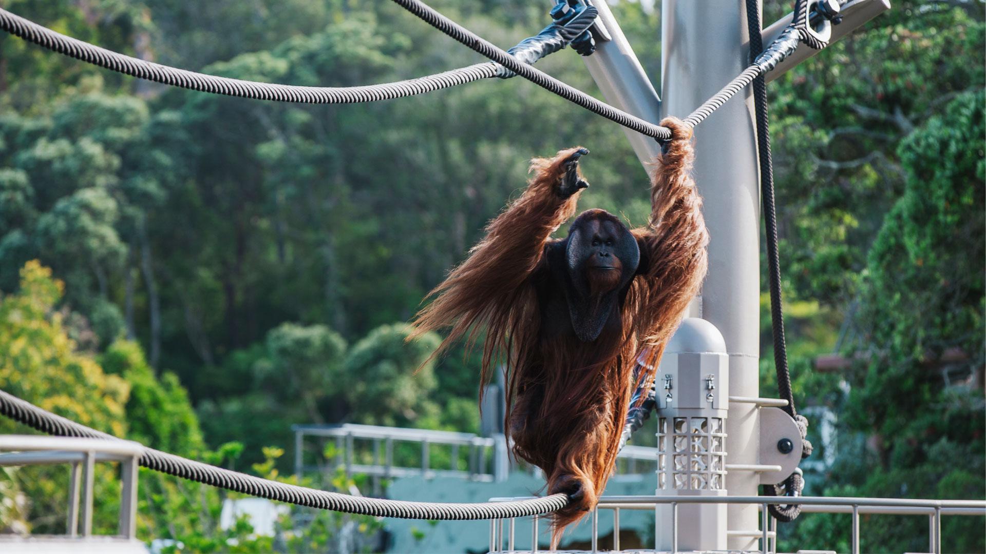 https://rfacdn.nz/zoo/assets/media/orangutan-aerial-pathways-gallery-1.jpg
