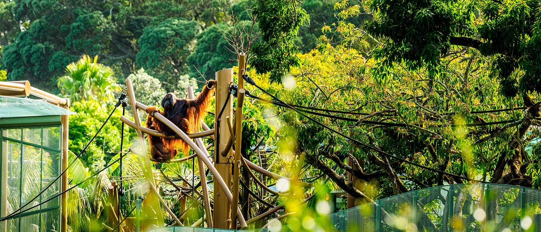 https://rfacdn.nz/zoo/assets/media/orangutan-high-canopy-habitat-hero.jpg