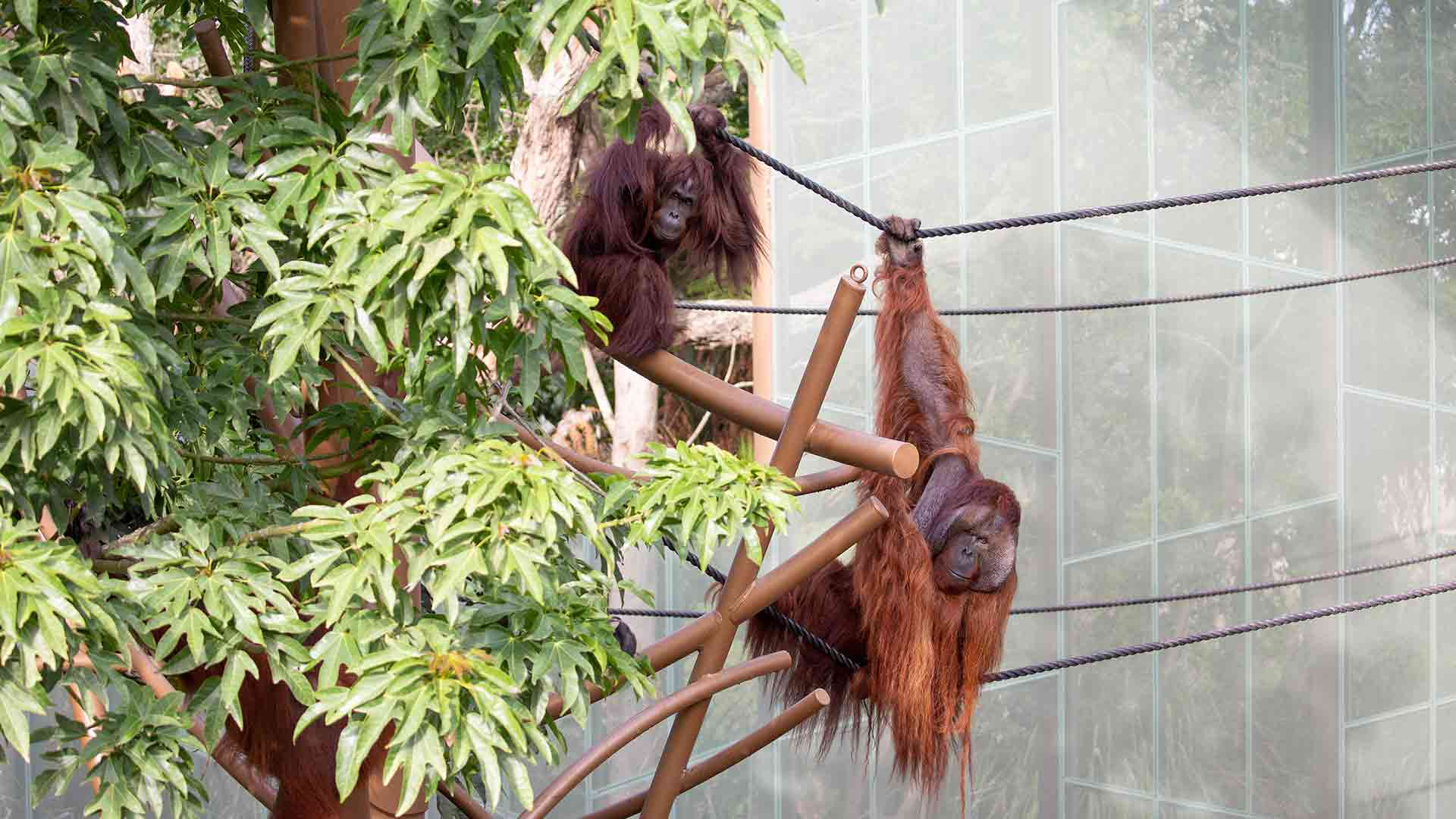 https://rfacdn.nz/zoo/assets/media/orangutan-move-gallery-1.jpg