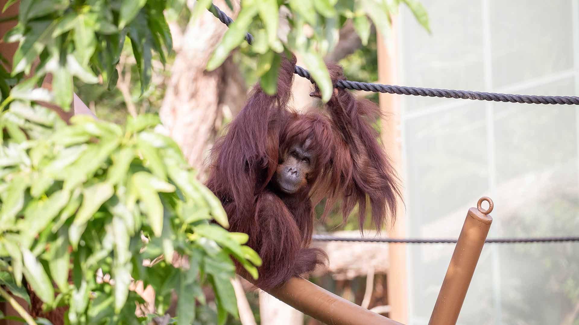 https://rfacdn.nz/zoo/assets/media/orangutan-move-gallery-10.jpg
