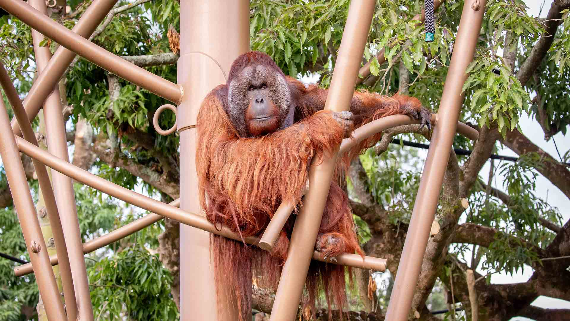 https://rfacdn.nz/zoo/assets/media/orangutan-move-gallery-2.jpg