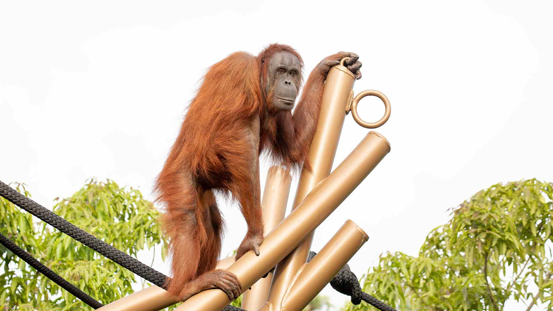 https://rfacdn.nz/zoo/assets/media/orangutan-move-gallery-8.jpg