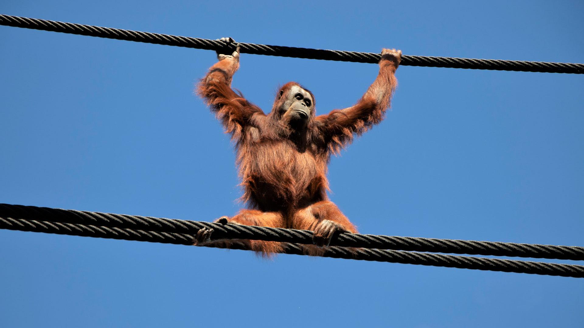 https://rfacdn.nz/zoo/assets/media/orangutans-aerial-pathways-gallery-1.jpg