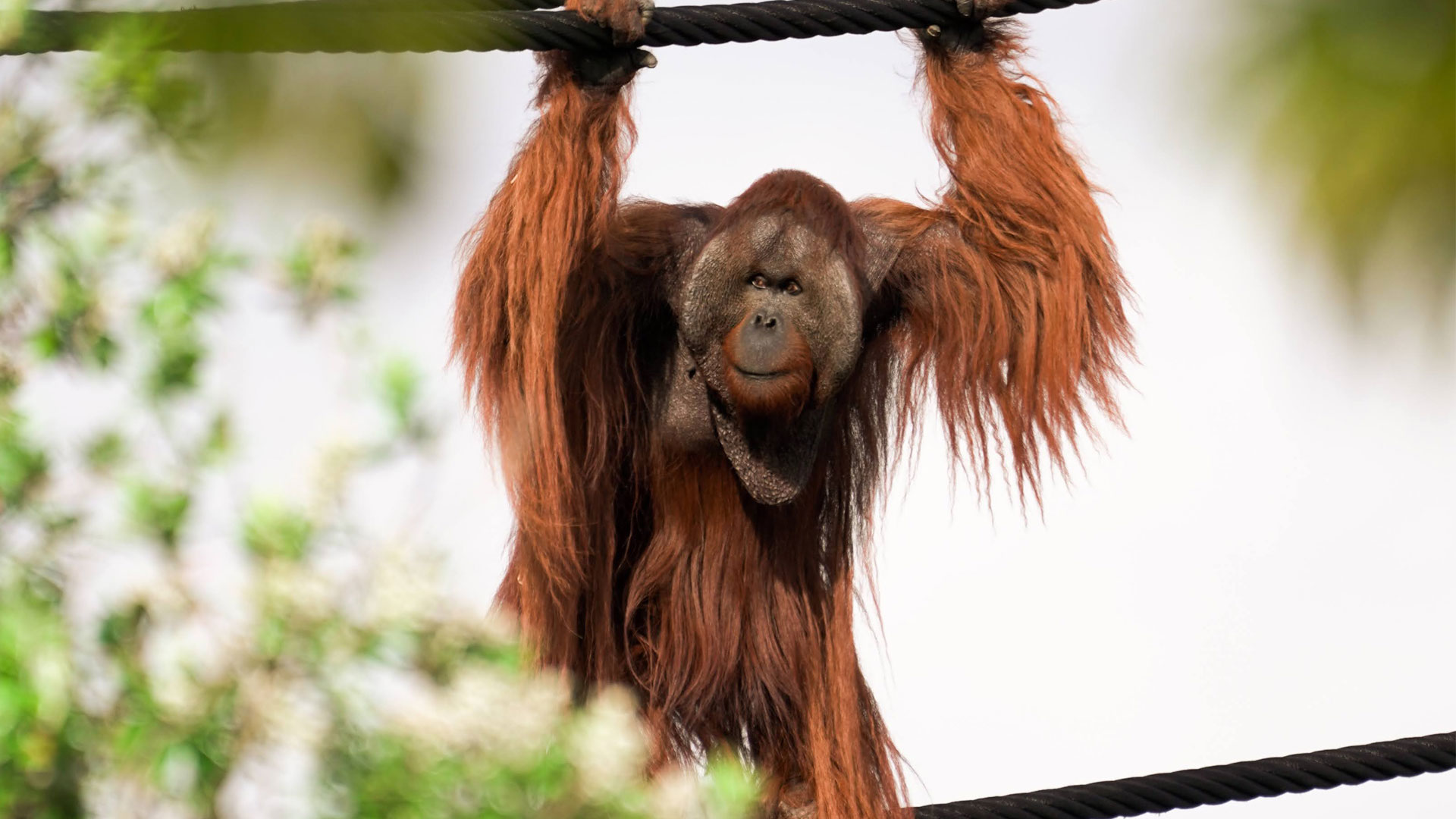 https://rfacdn.nz/zoo/assets/media/orangutans-aerial-pathways-gallery-3.jpg