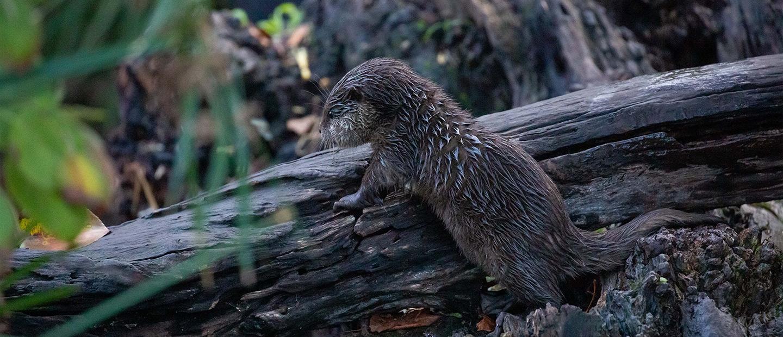 https://rfacdn.nz/zoo/assets/media/otter-climbing-log-hero.jpg