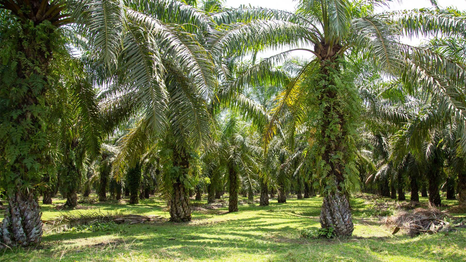 https://rfacdn.nz/zoo/assets/media/palm-oil-sumatra-gallery-5.jpg