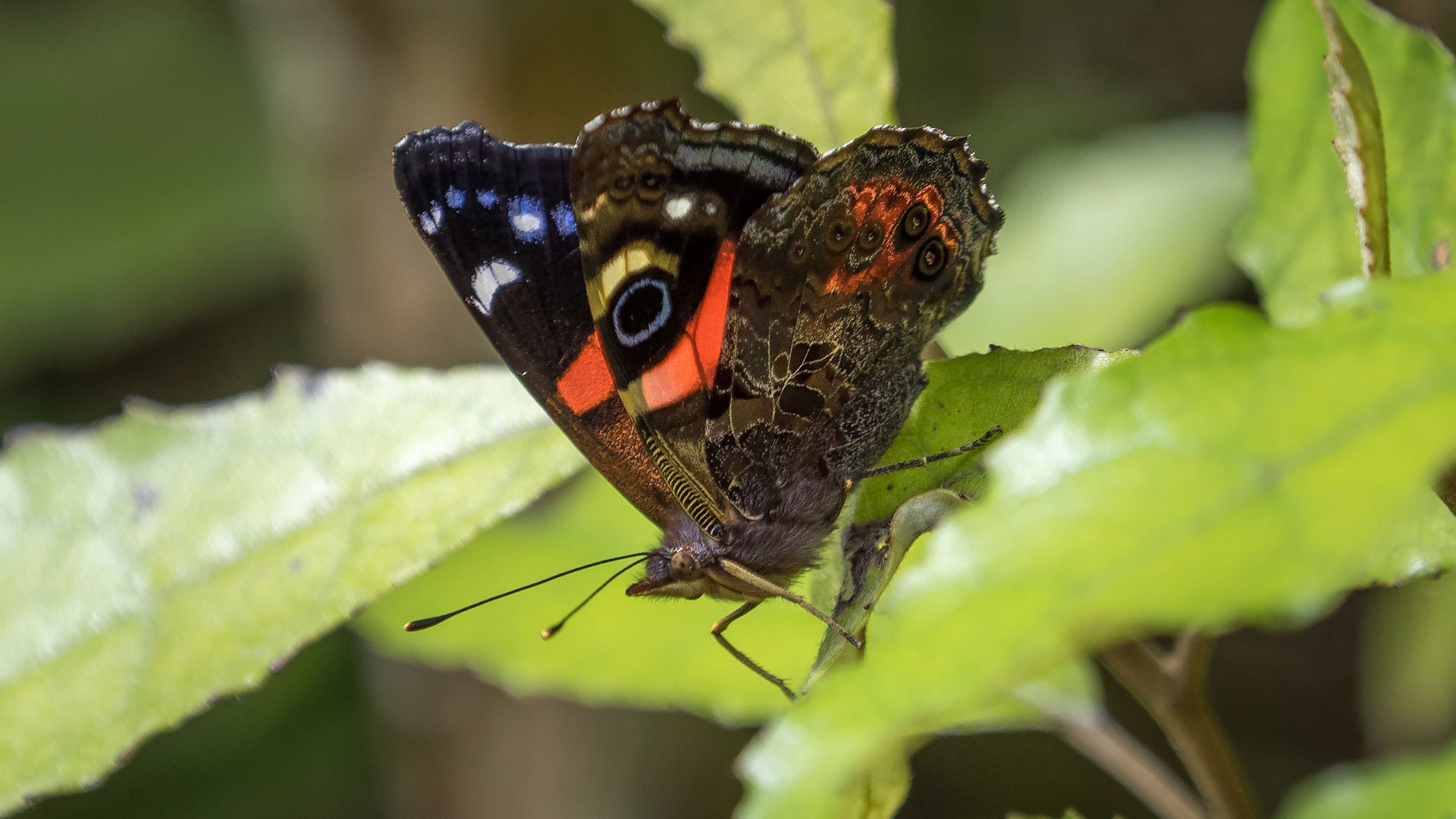 https://rfacdn.nz/zoo/assets/media/red-admiral-gallery-6.jpg