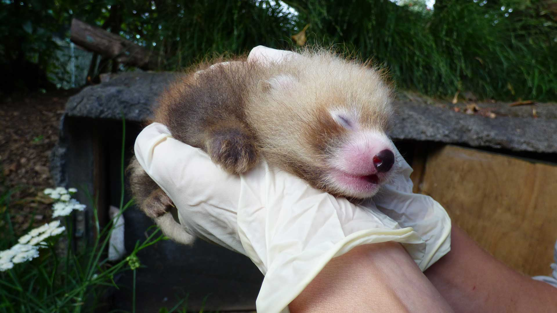 https://rfacdn.nz/zoo/assets/media/red-panda-cub-gallery-1.jpg