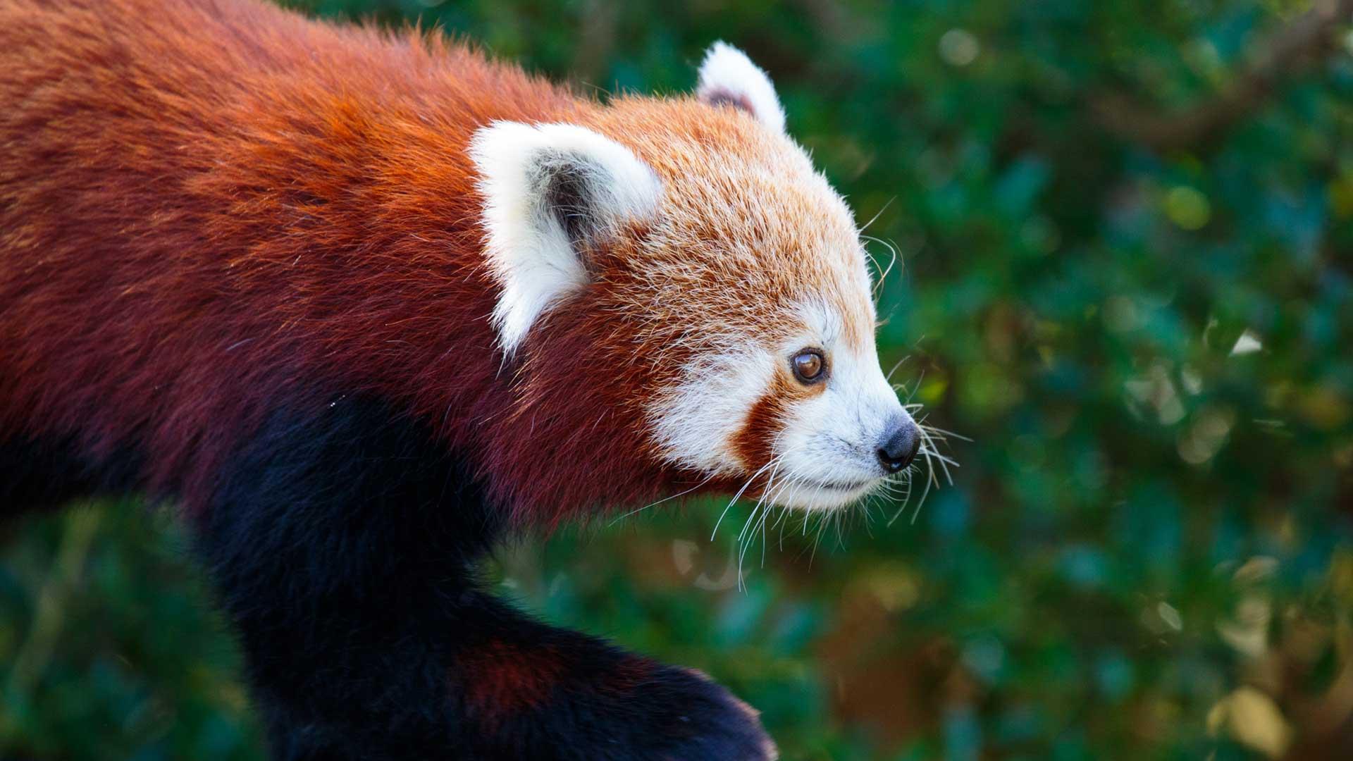 https://rfacdn.nz/zoo/assets/media/red-panda-gallery-2.jpg