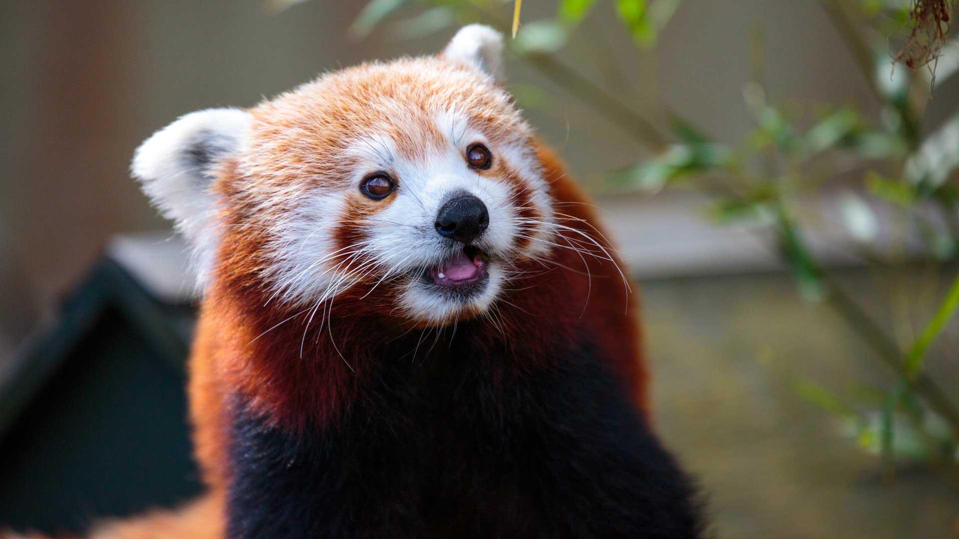 https://rfacdn.nz/zoo/assets/media/red-panda-gallery-4.jpg
