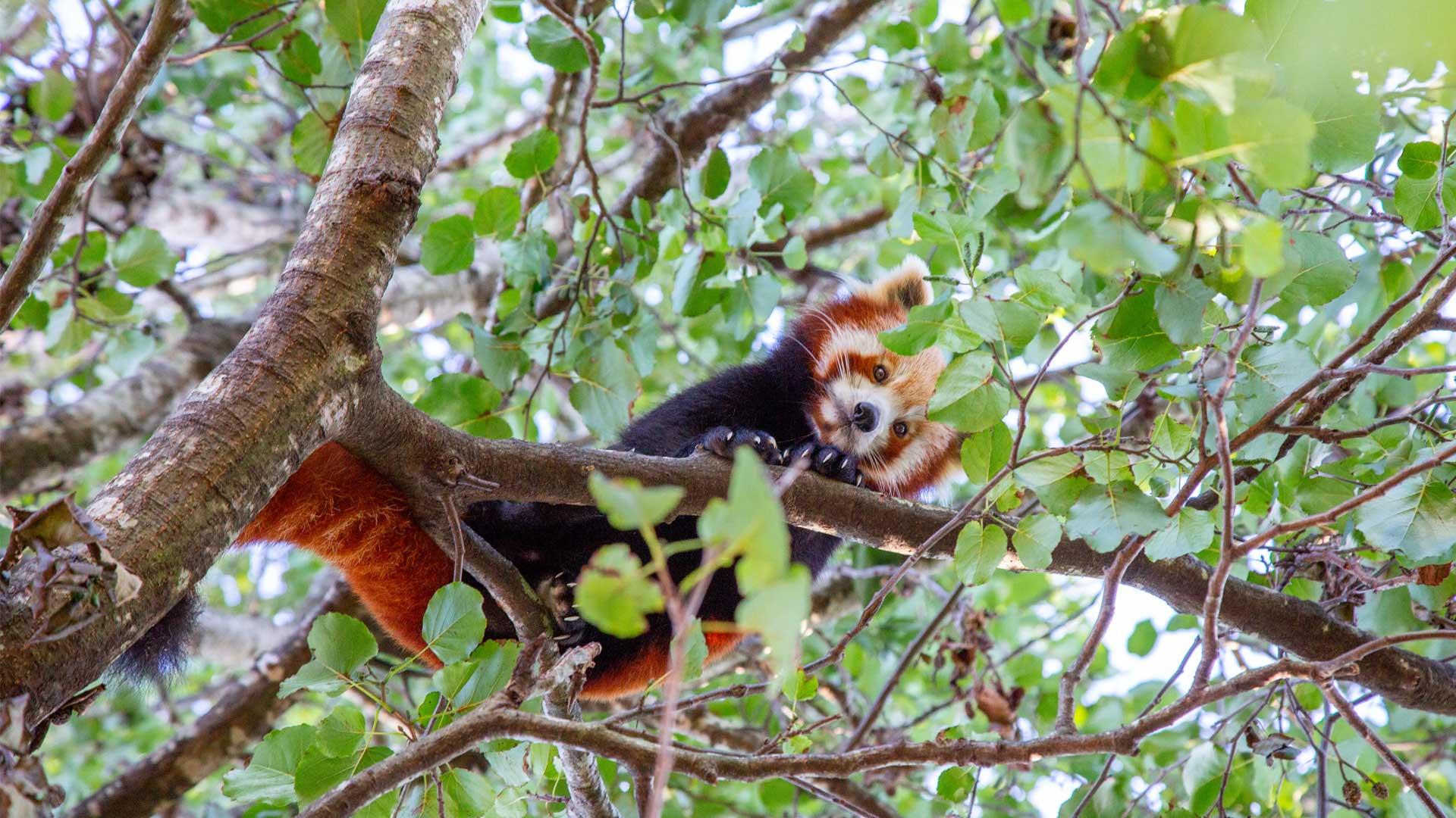 https://rfacdn.nz/zoo/assets/media/red-panda-gallery-8.jpg