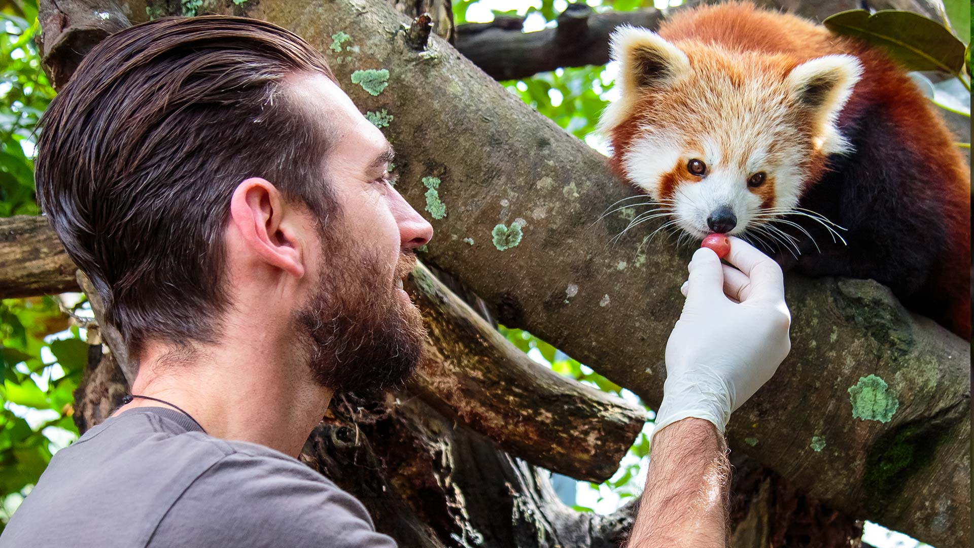 https://rfacdn.nz/zoo/assets/media/red-panda-gallery.jpg