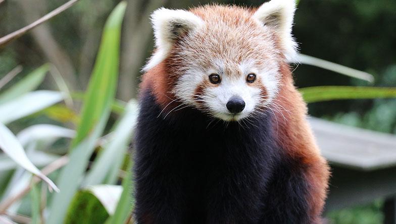 https://rfacdn.nz/zoo/assets/media/red-panda-khela-rectangle.jpg