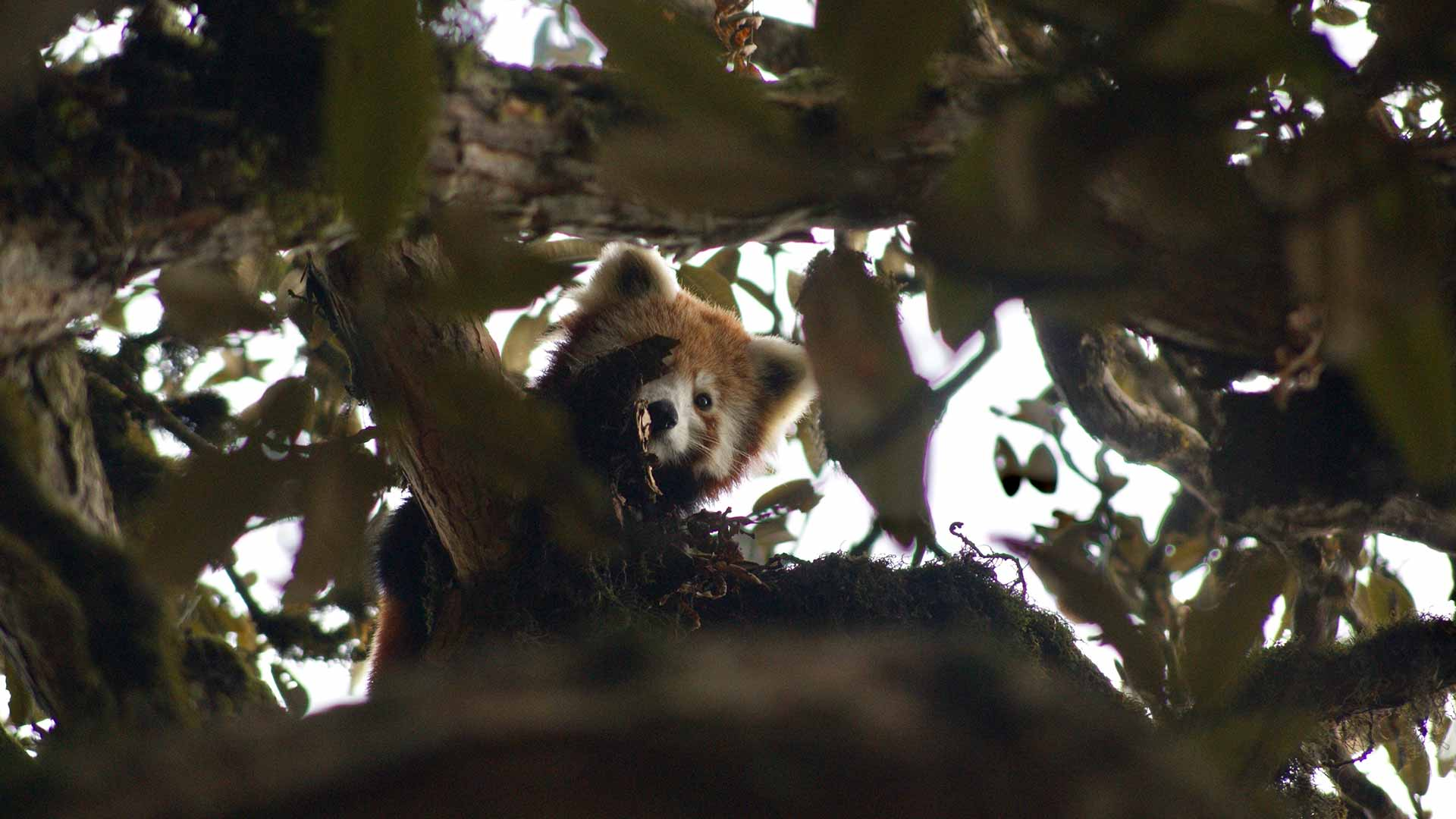 https://rfacdn.nz/zoo/assets/media/red-panda-nepal-gallery-2.jpg