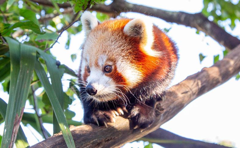 https://rfacdn.nz/zoo/assets/media/red-panda-thumbnail-v2.jpg