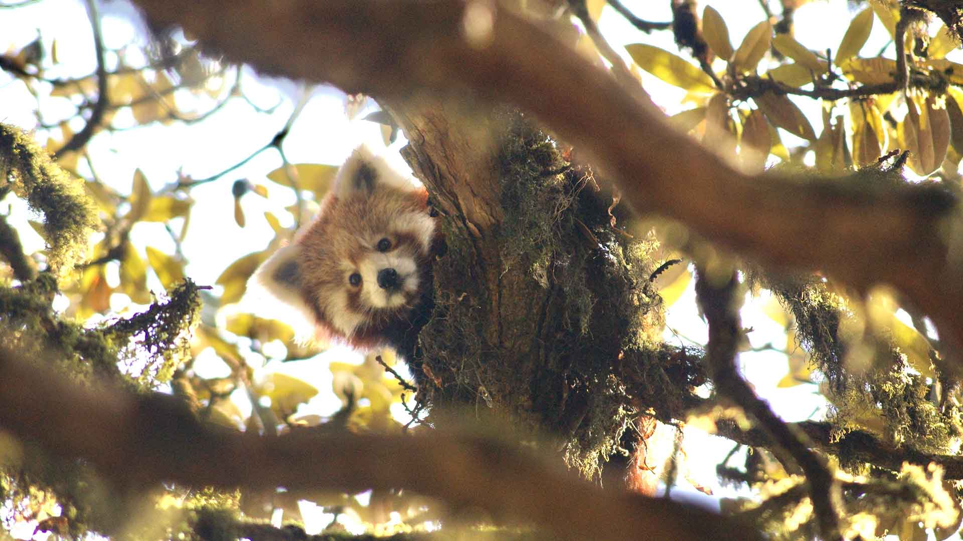 https://rfacdn.nz/zoo/assets/media/red-panda-up-tree-nepal-gallery-3.jpg