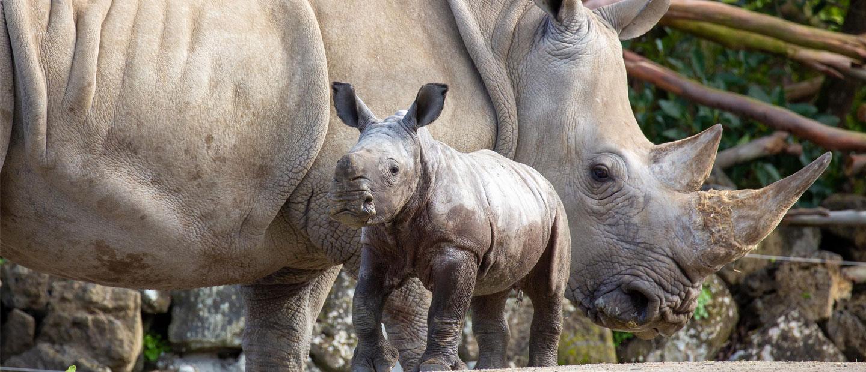 https://rfacdn.nz/zoo/assets/media/rhino-and-calf-hero.jpg