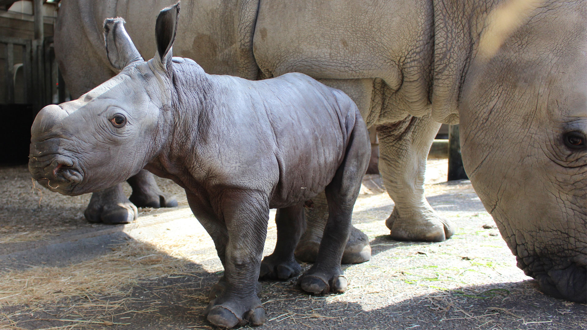 https://rfacdn.nz/zoo/assets/media/rhino-calf-gallery-3.jpg