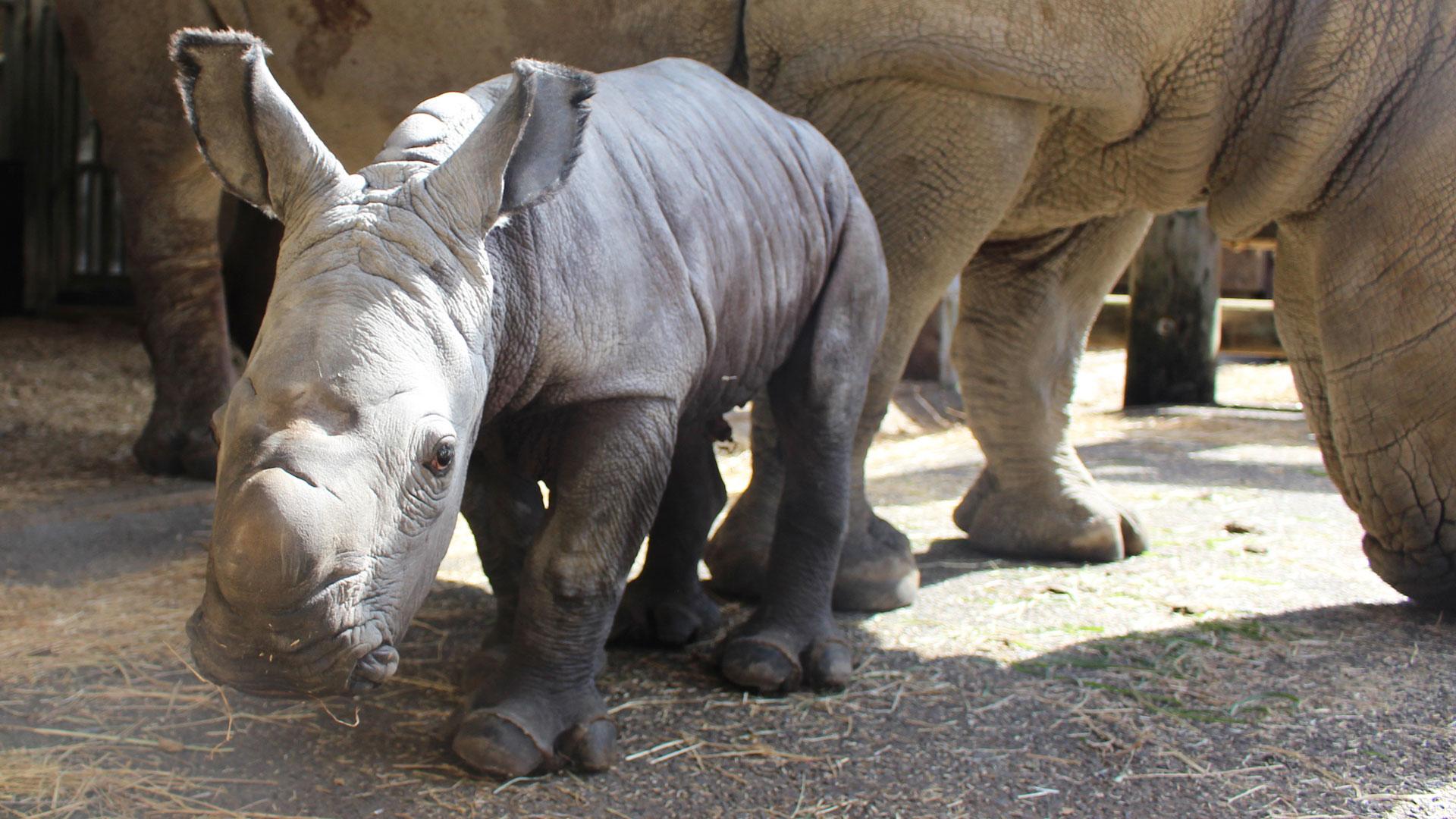 https://rfacdn.nz/zoo/assets/media/rhino-calf-gallery-4.jpg