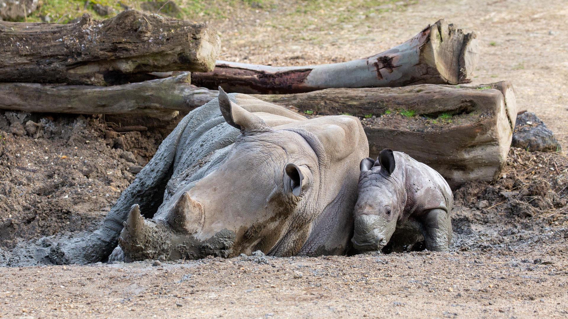 https://rfacdn.nz/zoo/assets/media/rhino-calf-in-habitat-gallery-1.jpg