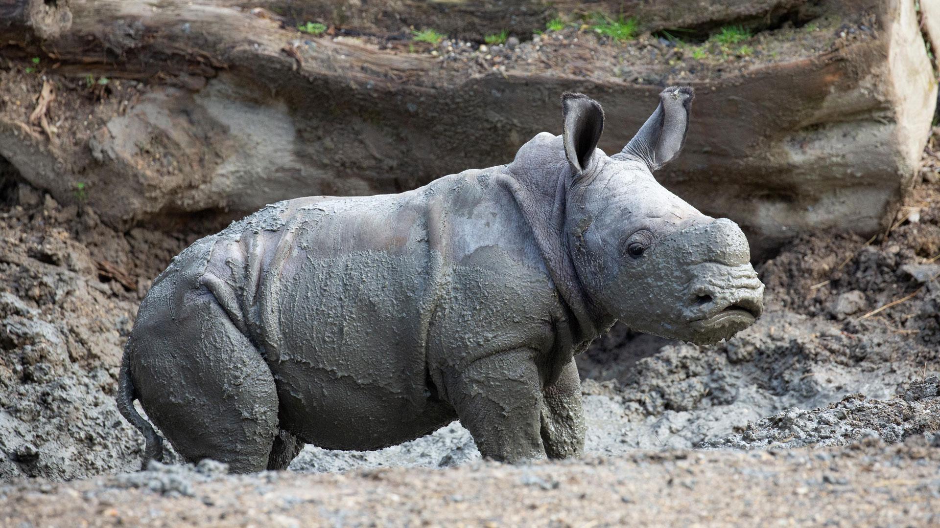https://rfacdn.nz/zoo/assets/media/rhino-calf-in-habitat-gallery-2.jpg