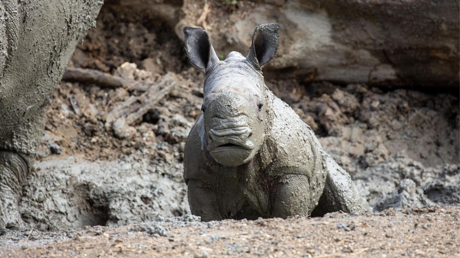 https://rfacdn.nz/zoo/assets/media/rhino-calf-in-habitat-gallery-3.jpg